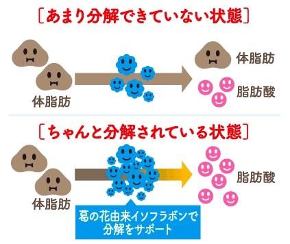 シボヘールの脂肪分解