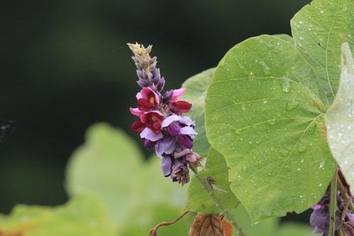 葛の花イソフラボン