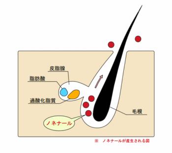 加齢臭 断面図 ノネナール