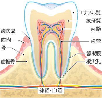 歯の断面図-min