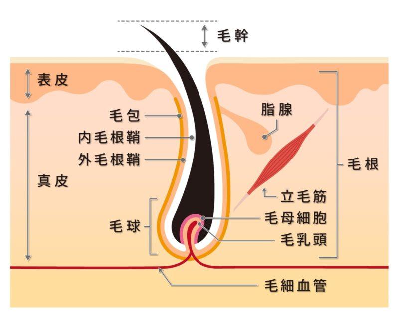 頭髪の断面図