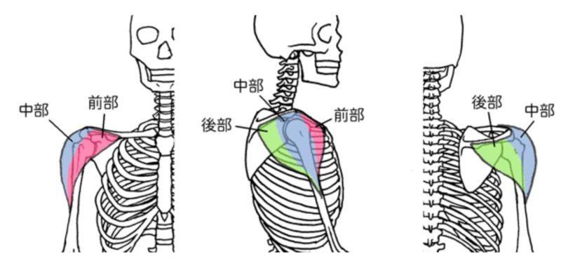 三角筋 骨格図