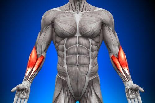 前腕筋の筋肉図