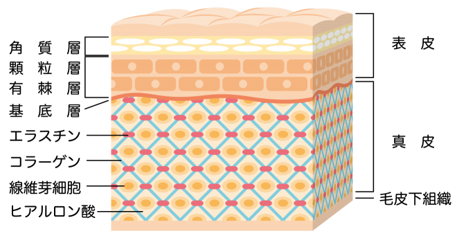 cross-sectional view of the skin_s (1)