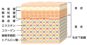cross-sectional view of the skin_s