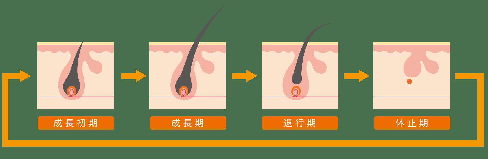 毛周期 脱毛 メカニズム