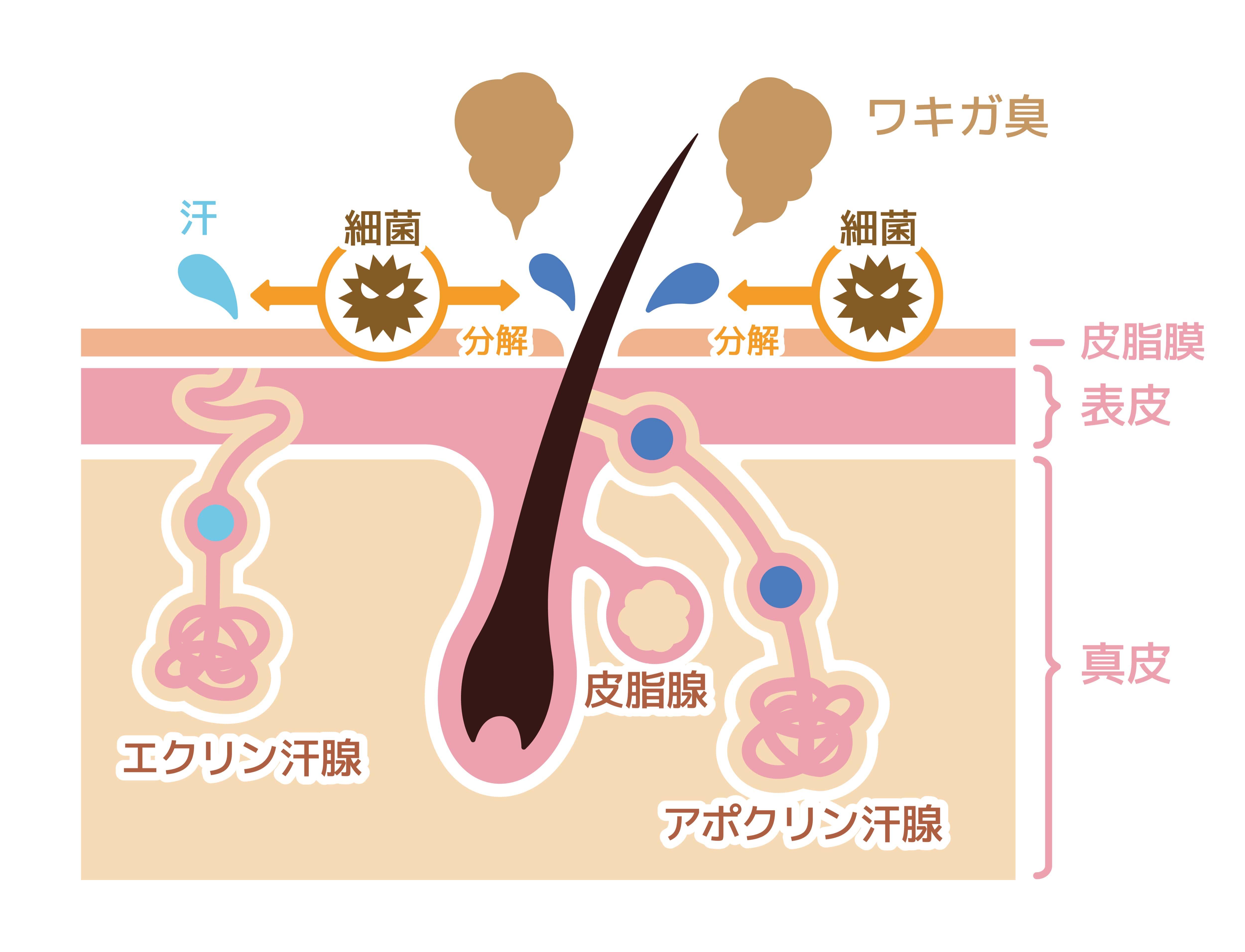 アポクリン腺を解説する図