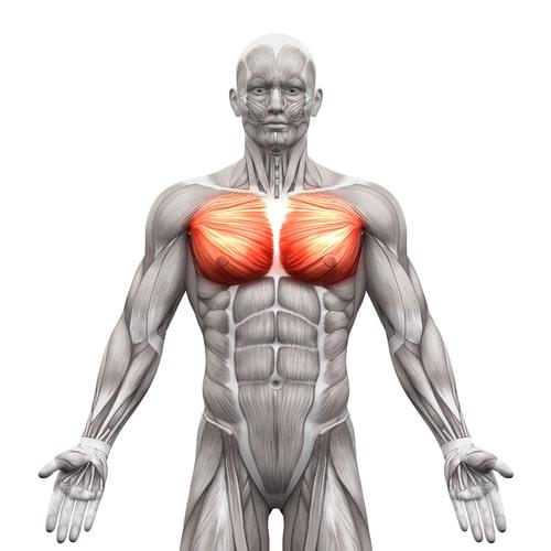 大胸筋 解剖図
