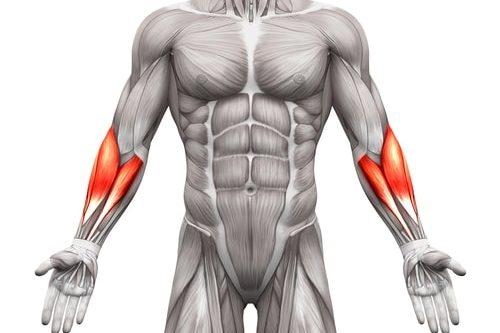 前腕の筋肉イラスト