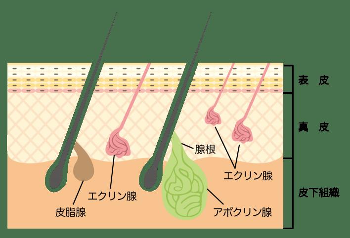 ワキガ 原因 断面図
